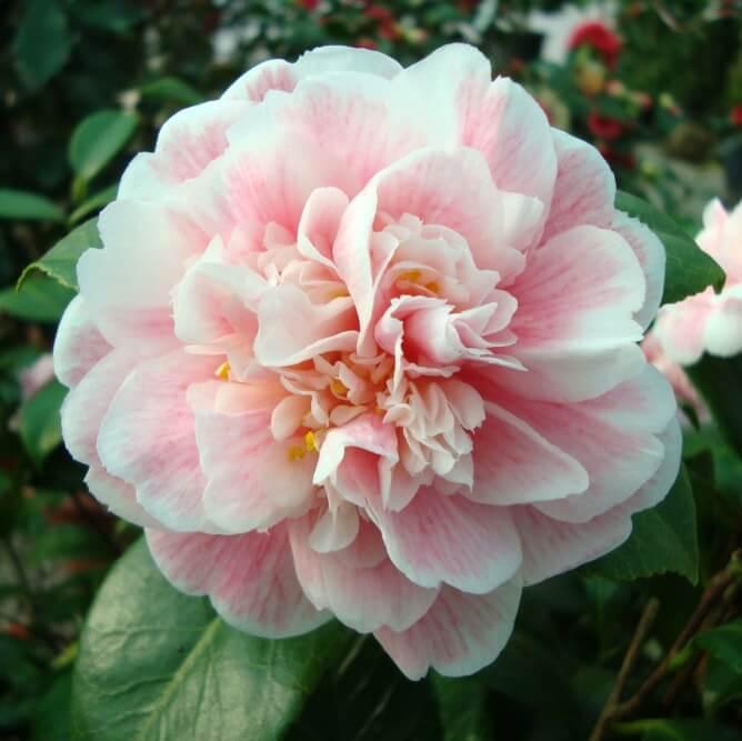 Camellia jap. Niobe flower