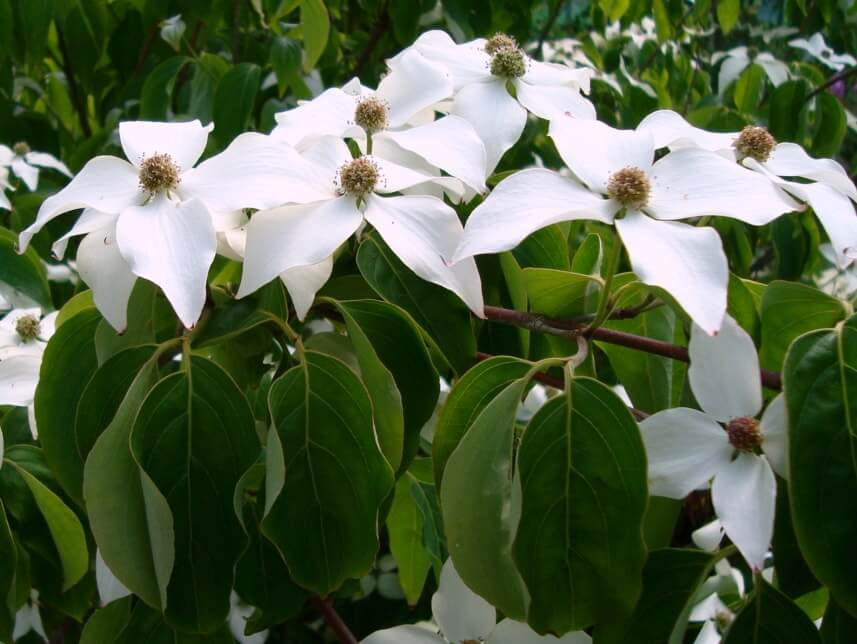 Cornus chinensis Great Star