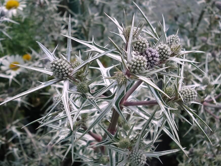 Eryngium varifolium
