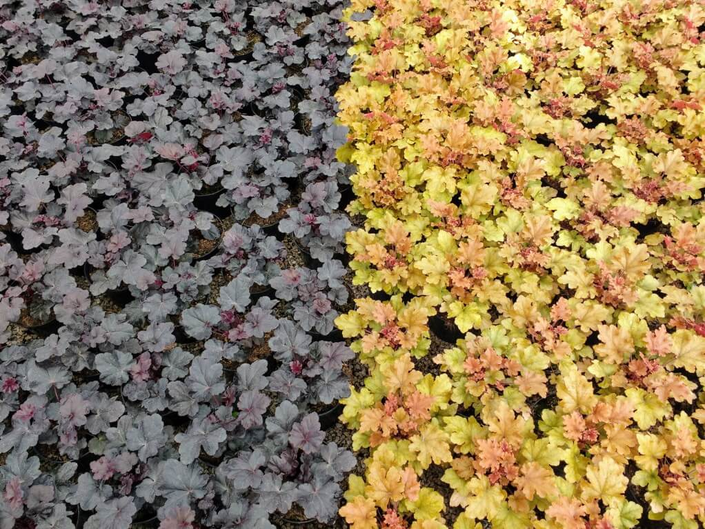 Heuchera Obsidian and Marmalade