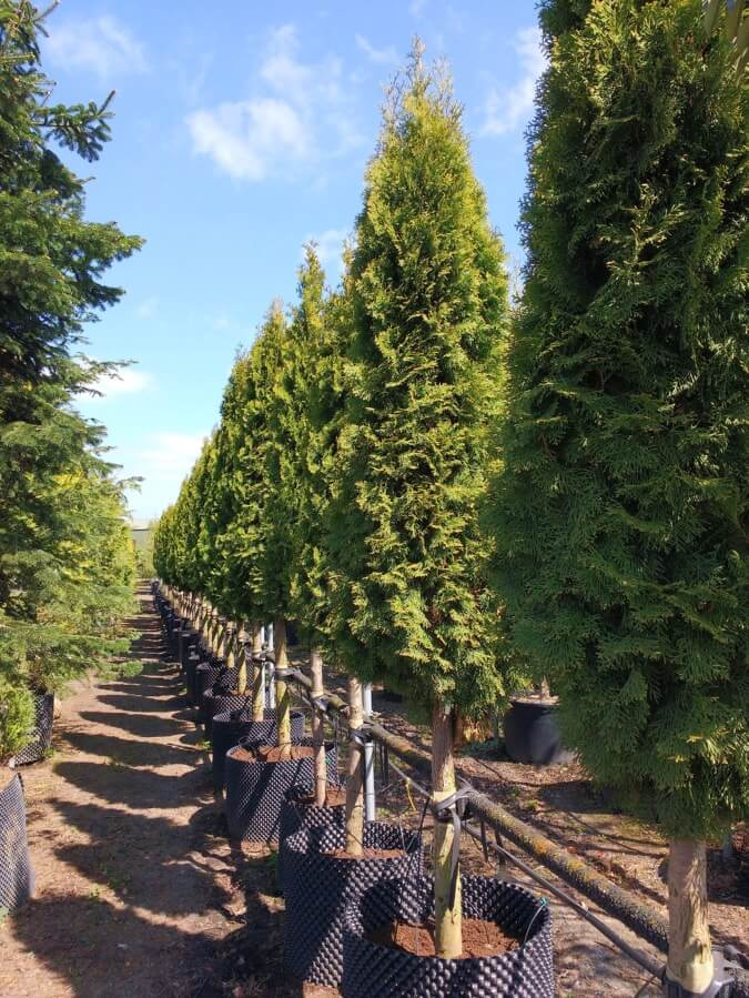 Thuja occidentalis Smaragd 20-25cm
