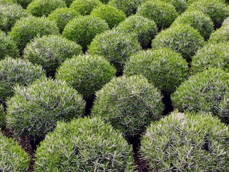Lavandula angustifolia Munstead 10L