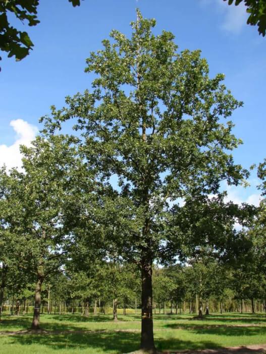 Oak-Tree-Quercus