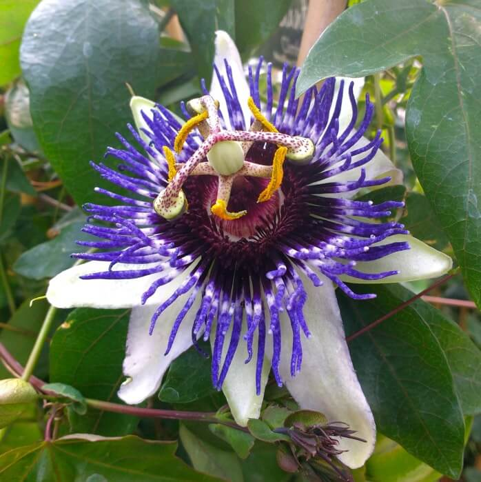 Passiflora-Silly-Cow