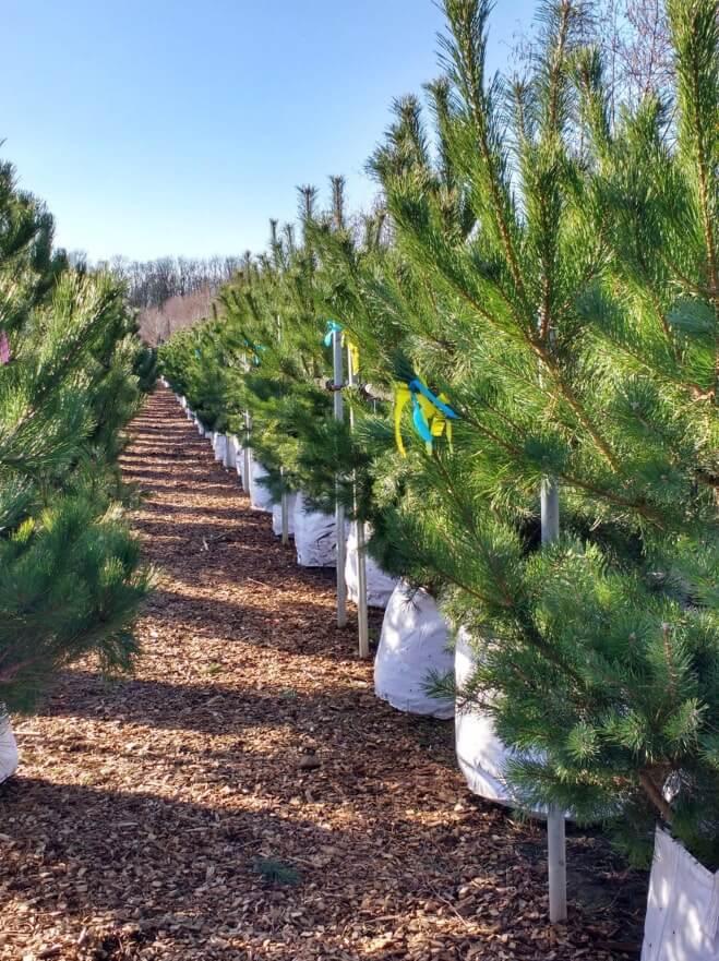 Pinus sylvestris and Pinus nigra Austriaca