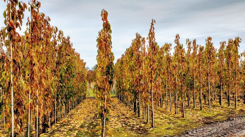 Prunus-Amanogawa