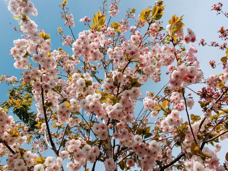 Prunus-Pink-Perfection