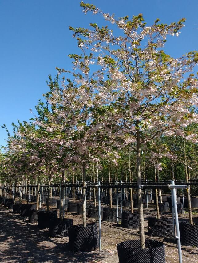 Prunus-Shirofugen-trees