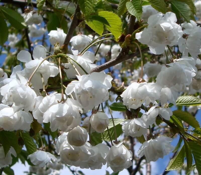 Prunus-avium-plena-flower